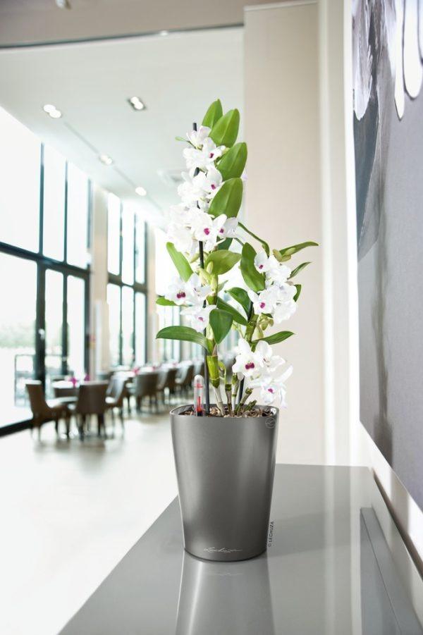 A_DLT_anth_Dendrobium