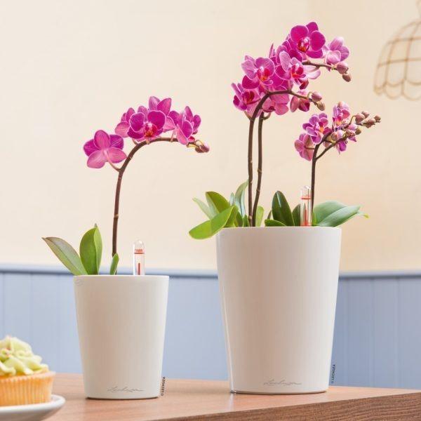 A_MiniDLT_DLT_w_Phalaenopsis