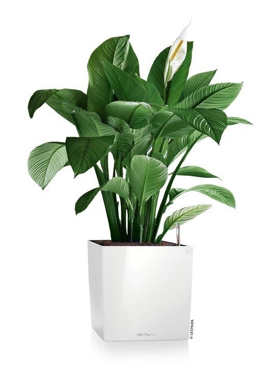 FP_SQC40_w_Spathiphyllum