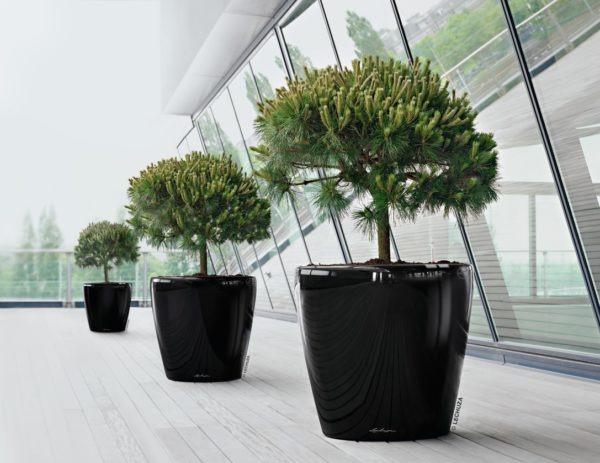 A_D70_3_sw_Pinus_nigra