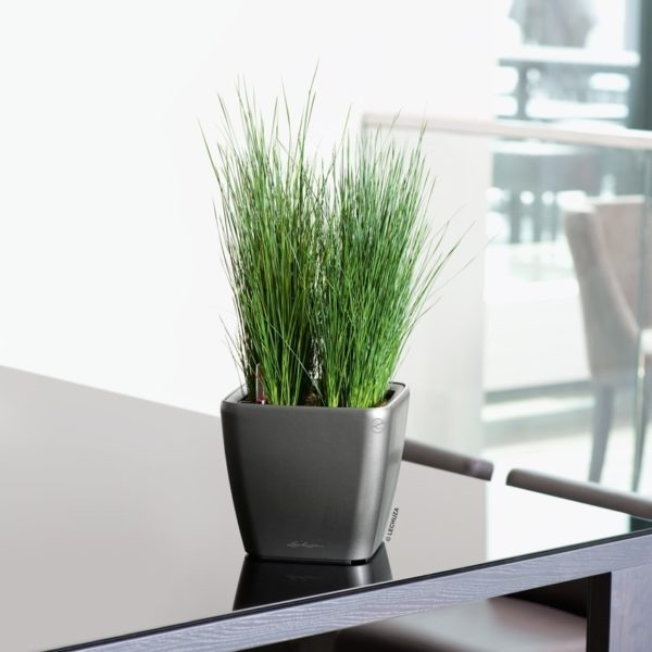 A_Q21_LS_anth_Juncus_Pencil_Grass
